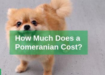 Pomeranian Price: Guide to Buying a Purebred Pomeranian