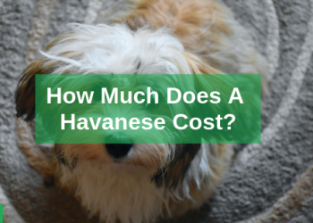 Havanese Puppies Price – Guide to Buying a Purebred Hananese
