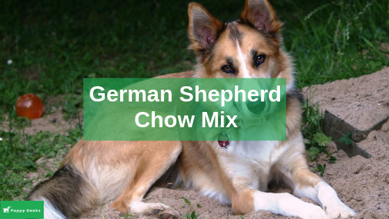 German Shepherd Chow Mix